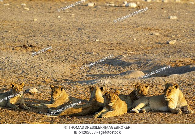 Lion (Panthera leo), two females on the right and in the centre and four subadult male cubs resting in the evening, Etosha National Park, Namibia