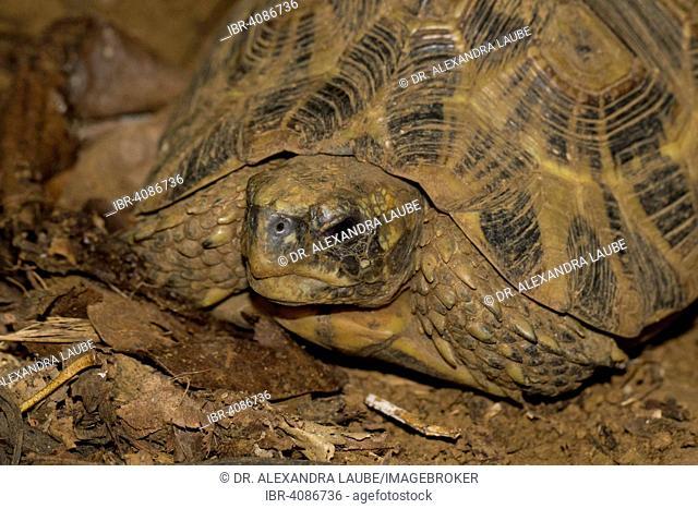 Bell's hinge-back tortoise (Kinixys belliana), Nosy Faly, Northwest Madagascar, Madagascar