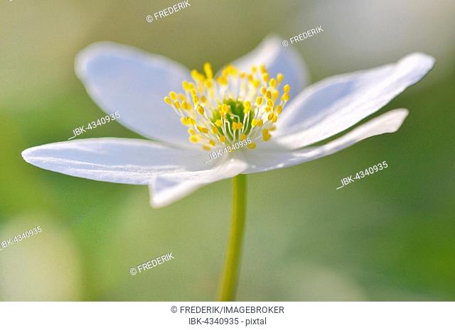Windflower (Anemone nemorosa), flowering, North Rhine-Westphalia, Germany