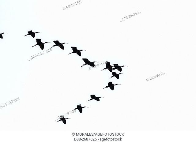 South east Asia, India,Assam state,Brahmapoutra,Glossy Ibis (Plegadis falcinellus),group in flight
