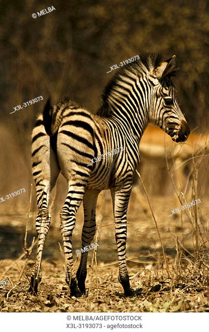 Baby Zebra, Equus quagga. Mana Pools National Park. Zimbabwe