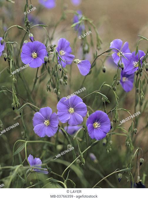 Meadow, persevering little, Linum  perenne, detail, blooms Fixed plant of the year 2005 Flower meadow, plants, flowers, little plants,  Culture plants