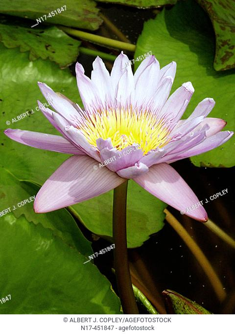 Florida Everglades, water lily