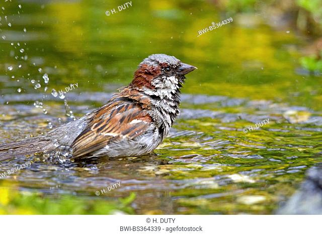 house sparrow (Passer domesticus), male bathing , Germany