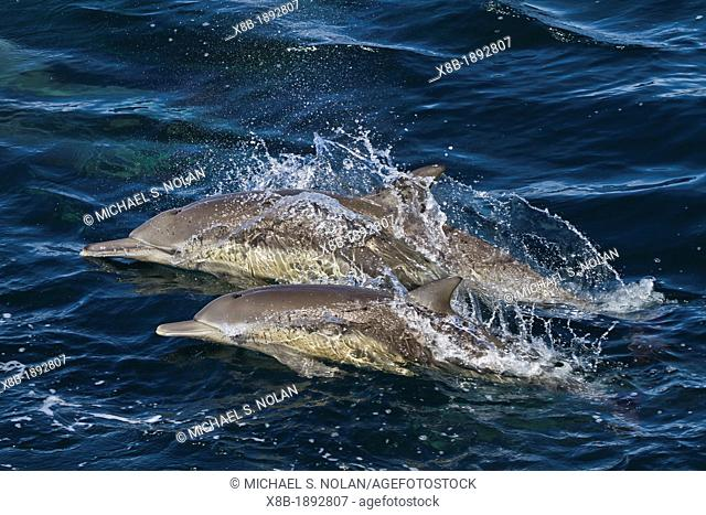 Long-beaked common dolphin mother with calf Delphinus capensis encountered off Isla San Esteban in the Gulf of California Sea of Cortez, Baja California, Mexico