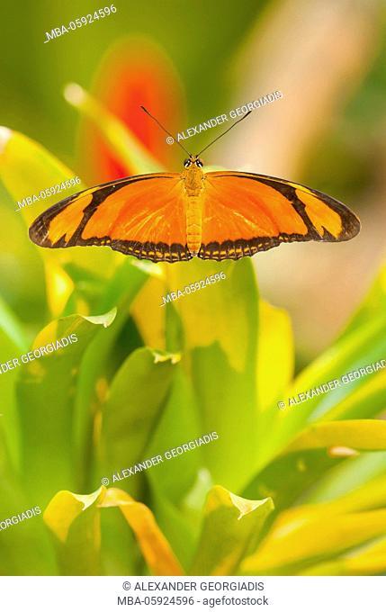 Butterfly torch (driedas Juria) on blade of grass