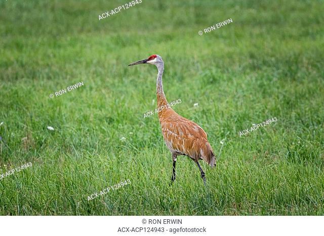 Sandhill Crane (Antigone canadensis), Barrie Island, Manitoulin Island, Ontario, Canada