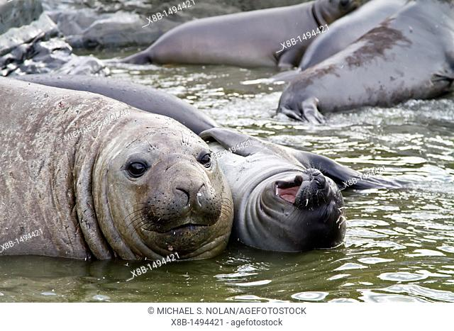 Young adult bull southern elephant seal Mirounga leonina holding a young pup's head underwater seemingly trying to kill it- the pup survived on South Georgia...