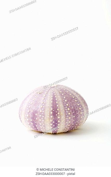 Dried sea urchin shell