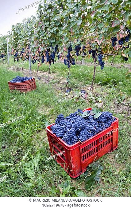 Red crates in the vineyard, filled with grapes during the harvest Piedmont Iytalia