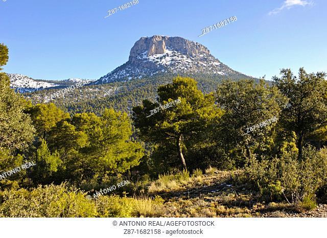 Encinas Quercus ilex Parque Regional de Sierra Espuña  Alhama de Murcia  Murcia