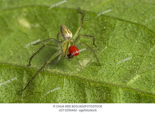 Lynux spider with parasite found at Kampung Satow, Sarawak, Malaysia