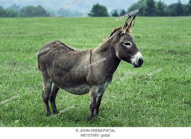 Donkey in a field, Chester County, Pennsylvania, USA