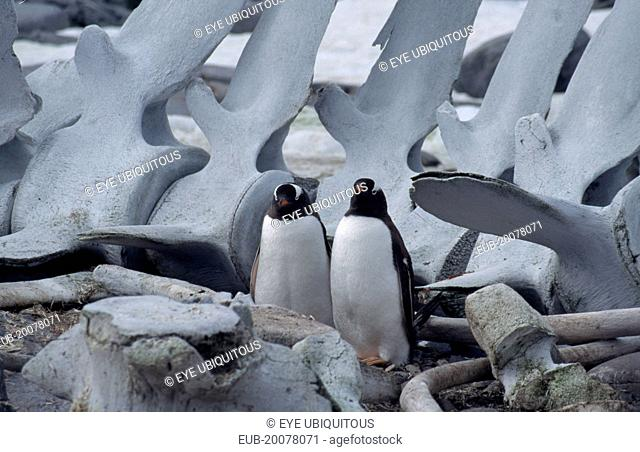 Port Lockroy. Two Gentoo Penguins with a large whale carcass behind