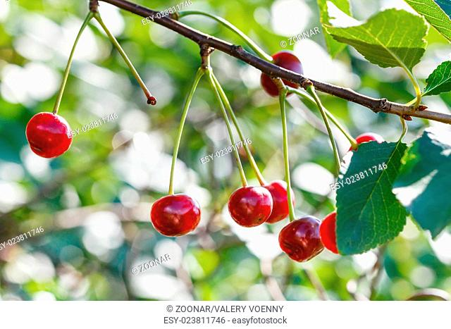 branch with several cherry ripe fruits close up