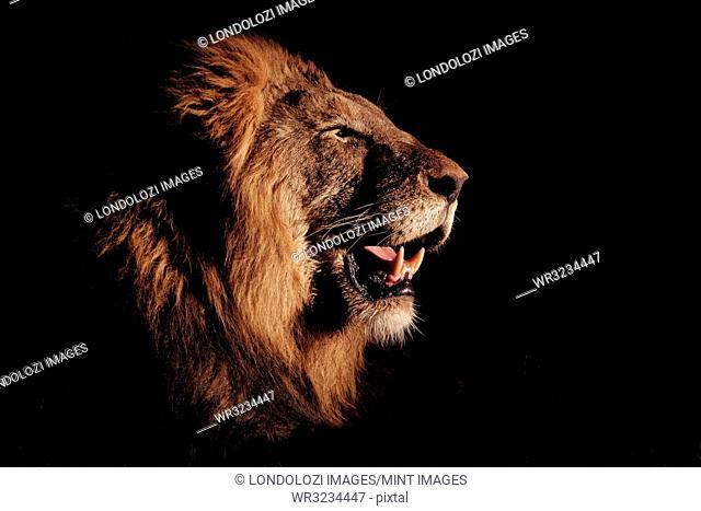 A side profile of a male lion's head, Panthera leo, open mouth, lit up by spotlight, black background
