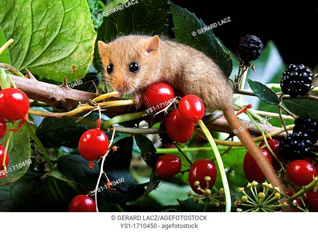 Common Dormouse, muscardinus avellanarius, Adult standing on Branch with Blackberries and Red Berries, Normandy