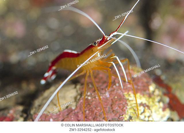Hump-back Cleaner Shrimp (Lysmata amboinensis), Pong Pong dive site, Seraya, near Tulamben, Bali, Indonesia