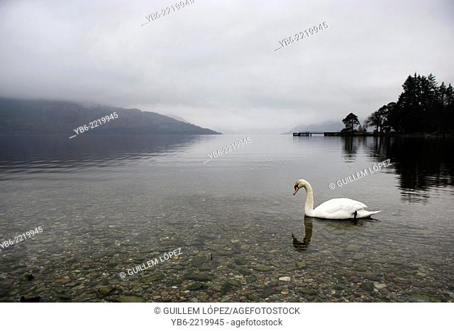 View a a white swan at the Loch Lomond in a misty morning at The Loch Lomond & The Trossachs National Park, Scotland, UK