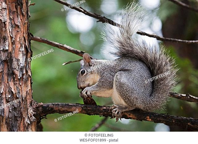 USA, California, Yosemite National Park, Grey squirrel Sciurus griseus, close-up