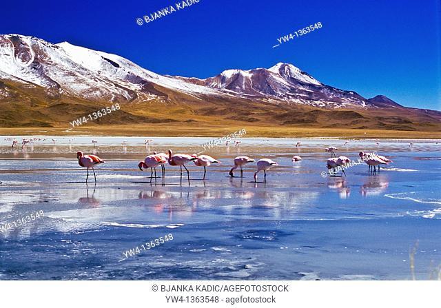 Flamingoes at Laguna Hedionda, Bolivia