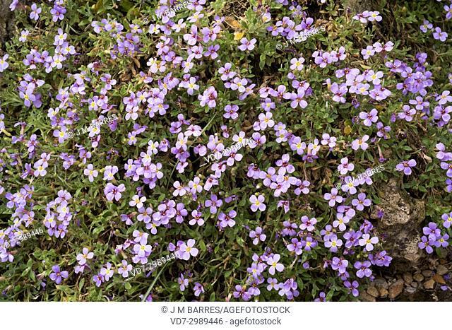 Aubrieta gracilis is a perennial and ornamental plant original from central Asia