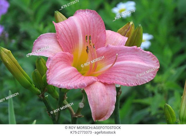 pink, Lily, lilium