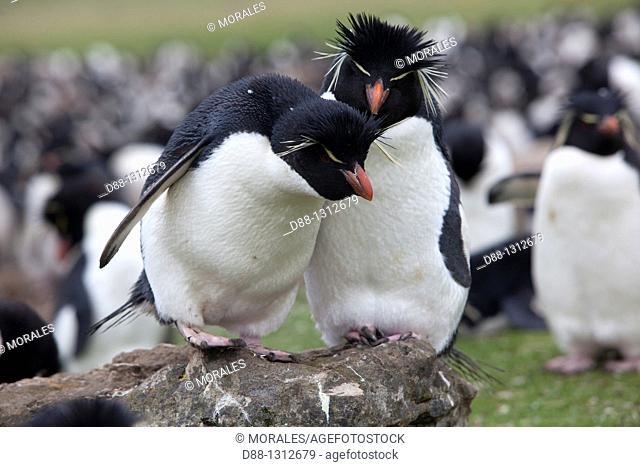 Falkland Islands , Pebble island , Rockhopper penguin  Eudyptes chrysocome chrysocome