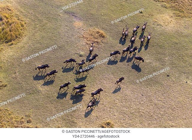 Aerial view of blue wildebeest (Connochaetes taurinus), Okawango Delta, Botswana. The Okavango Delta is home to a rich array of wildlife