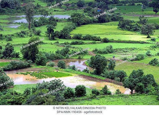 paddy fields malavli pune Maharashtra India Asia