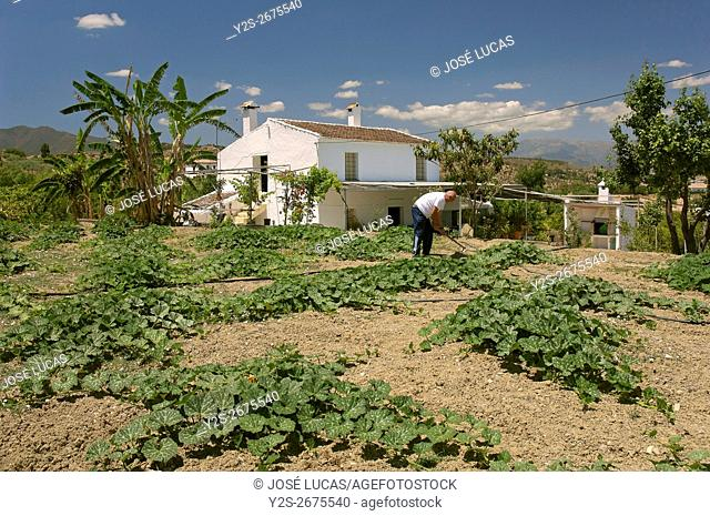 Orchard and farmhouse in the Sierra de Mijas, Alhaurin el Grande, Malaga province, Region of Andalusia, Spain, Europe,