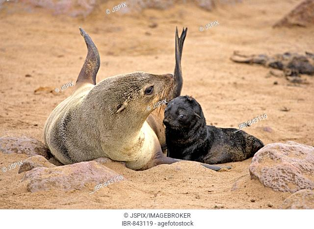 Brown Fur Seal (Arctocephalus pusillus), adult, with young, Cape Cross, Namibia, Africa