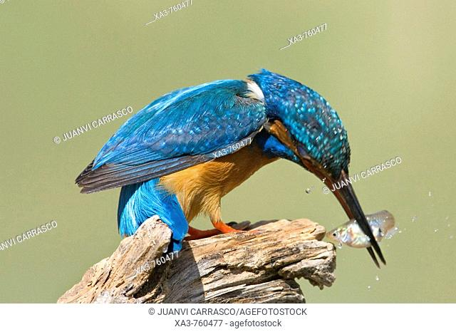 European Kingfisher (Alcedo atthis) perched hitting fish