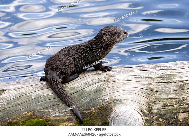 River Otter (Lutra canadensis) babies in Yellowstone National Park