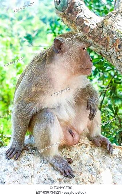 A Macaque Monkey in the Khao Takiap area of Hua Hin in Thailand