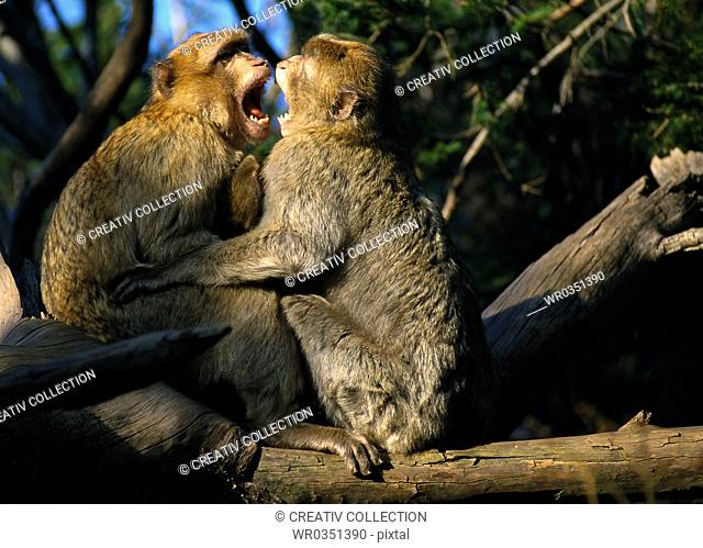 two monkeys screaming