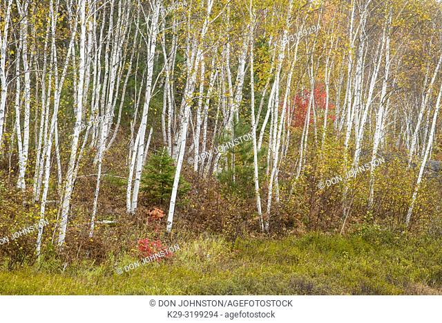 Autumn forest featuring birch trees, Greater Sudbury, Ontario, Canada