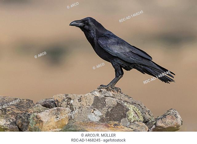 Raven, Spain, Corvus corax