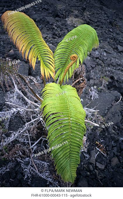 Volcano regeneration, pioneering fern growing out of lava, Kilauea Iki Crater, Big Island, Hawaii