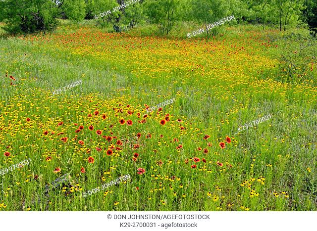 Spring wildflowers in a meadow, featuring firewheel/Indian Blanket, brown bitterweed, Llano County, Texas, USA