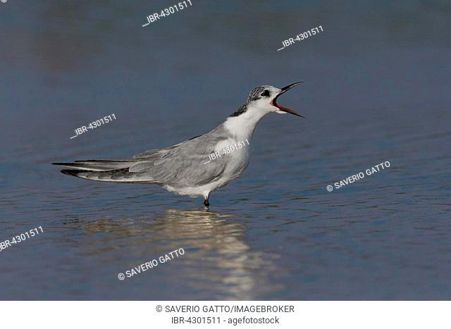 Whiskered Tern (Chlidonias hybrida), standing in the water, calling, Salalah, Dhofar, Oman