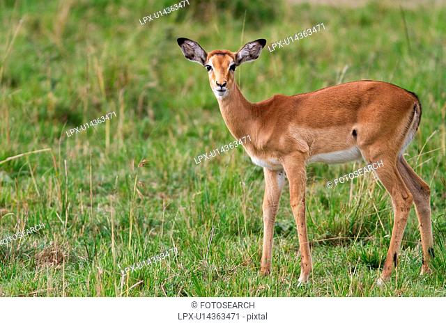 Close up of young female impala standing in grass, side view, face towards viewer, Masai Mara, Kenya, East Africa
