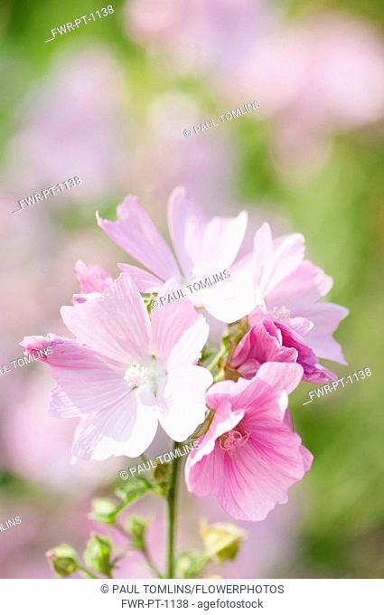 Musk mallow, Malva moschata, Flowering stems growing outdoor
