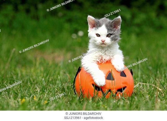Selkirk Rex. Kitten in a Jack-O-Lantern on a meadow. Germany