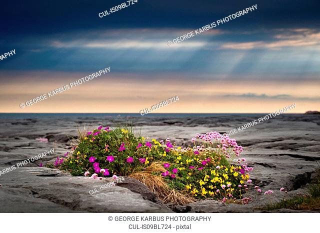 Flowers growing in limestone rock, The Burren, Doolin, Clare, Ireland