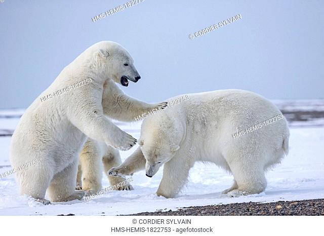 United States, Alaska, Arctic National Wildlife Refuge, Kaktovik, Polar Bear (Ursus maritimus), subadults playing along a barrier island outside Kaktovik