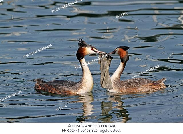 Great Crested Grebe (Podiceps cristatus) adult pair, breeding plumage, collecting nesting material using discarded rubbish floating on surface of water