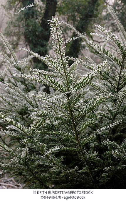 Taxus baccata, European Yew in frost, Wales
