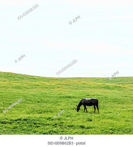 Horse grazing in green field landscape