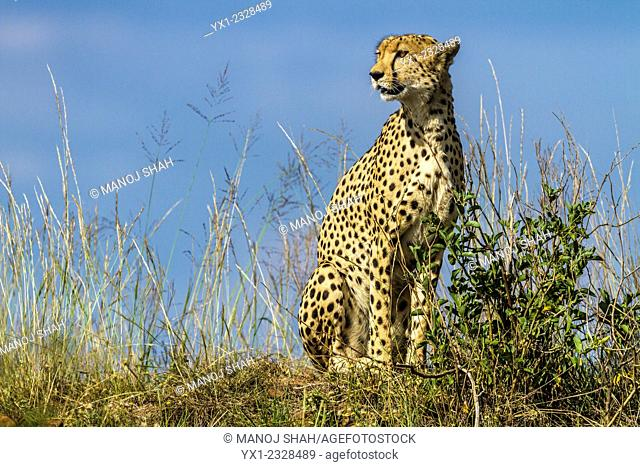 Cheetah on the look out for prey animals, Masai Mara National Reserve, Kenya